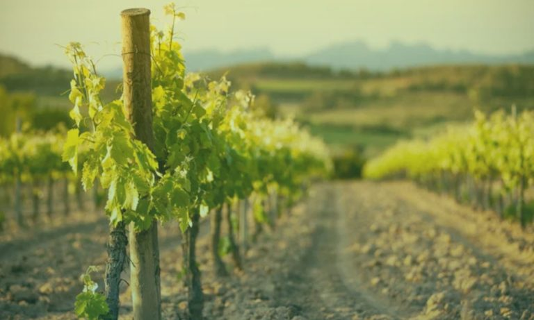wijngaard-spanje-2