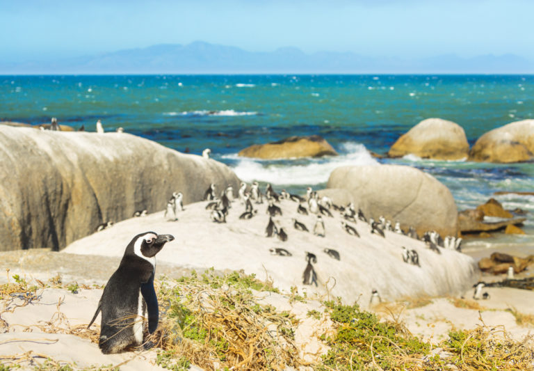 colony-of-african-penguins-on-rocky-beach-in-south-africa